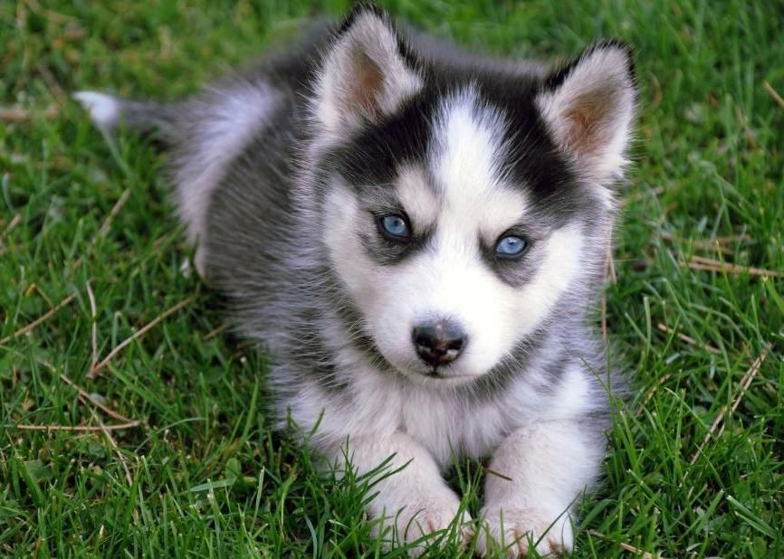 Gray Husky Puppies With Blue Eyes | puppy love. | Cute ...