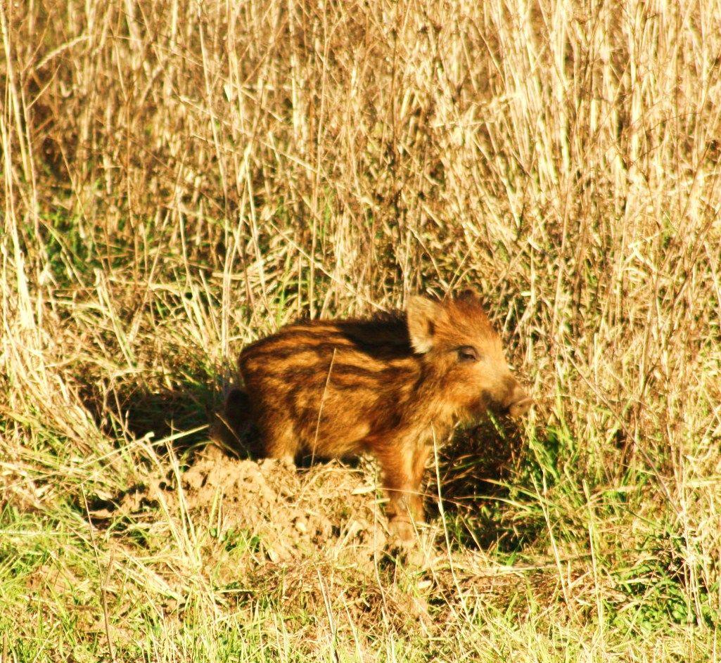 cucciolo di cinghiale estate 2012 bomarzo