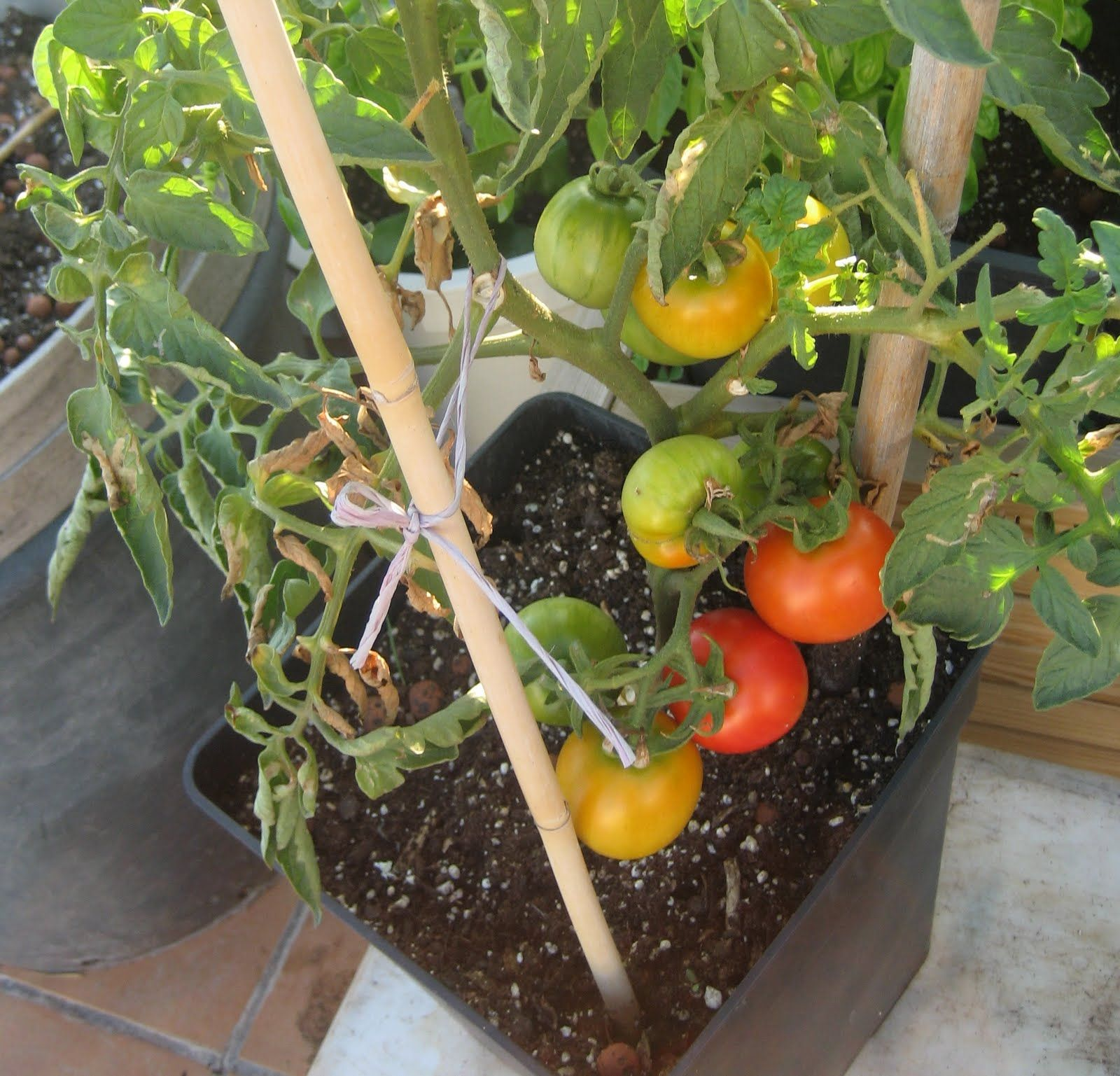 Blog Sobre Bricolaje Casero Ocio Humor Huerto Casero Y Todo  ~ Como Cultivar Tomates En El Huerto
