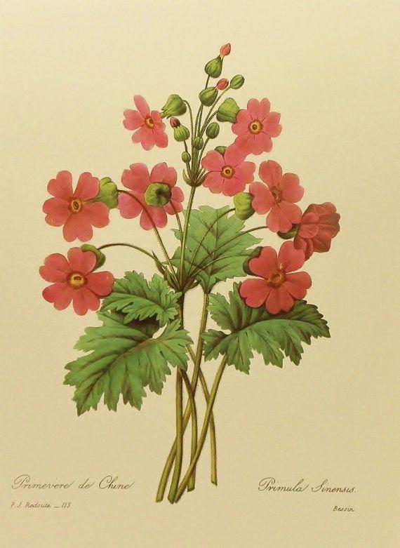Red Chinese Primrose Flower Print, Vintage Botanical Wall Art ...