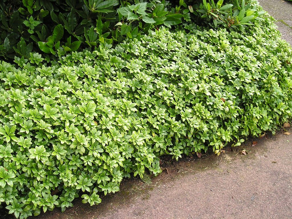 Pachysandra growing zone information on pachysandra plant for Weeds garden maintenance