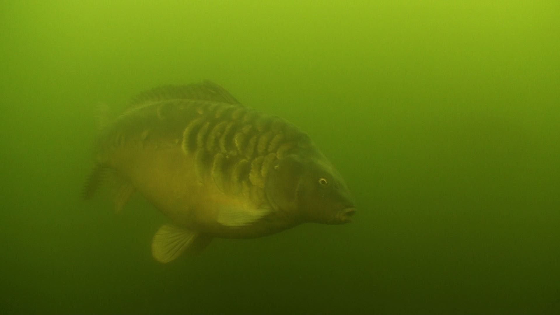 Image Detail For Enjoy This Beautiful Full Hd Carp Wallpaper With A Green Background Fish Wallpaper Common Carp Carp Fish