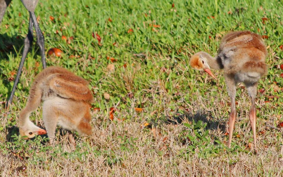 Where are our tail feathers? - Sandhill Crane babies