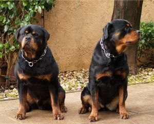 In California Rottweiler Puppies For Sale Rottweiler Puppies