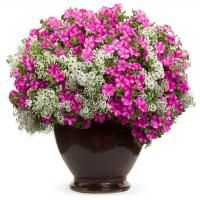 Shape your pots with wonderful plants such as Petunias from Proven Winners.