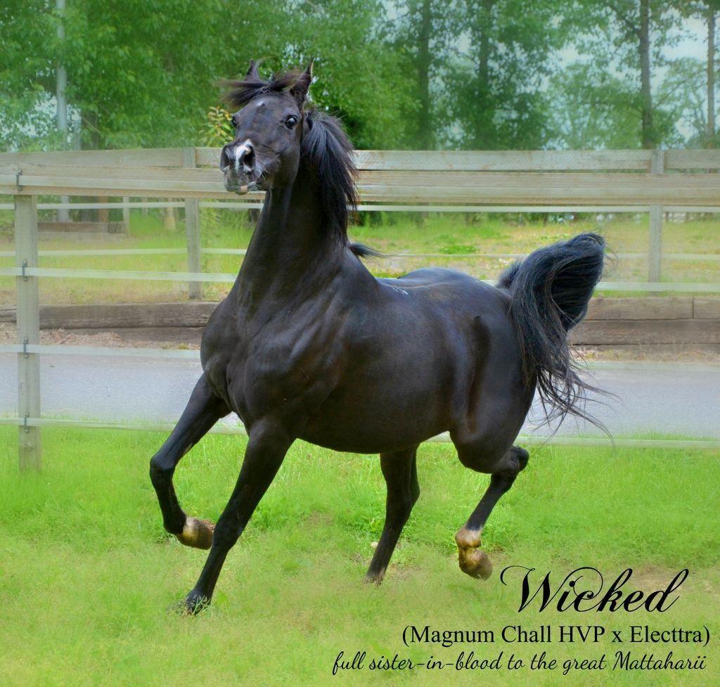 Arabian Arabians Arabian Horses For Sale arabianhorse