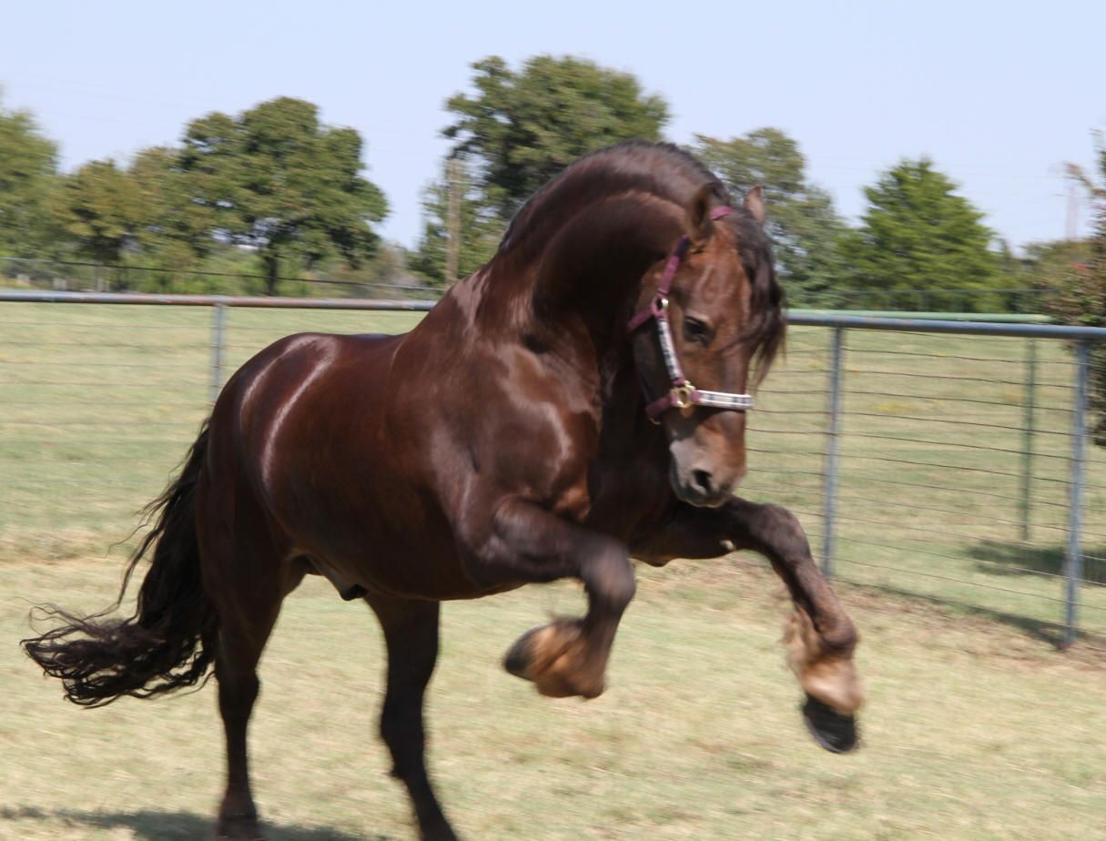 Some Friesians present chestnut coat due to the time when ... - photo#17