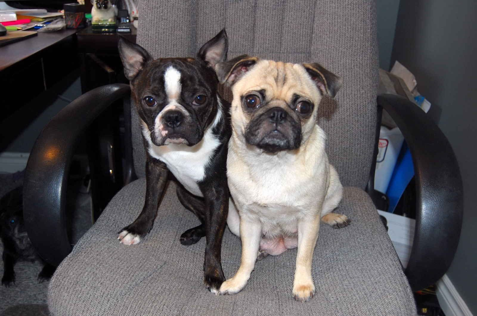 pug and boston terrier mix breeds my dog is this mix my dog