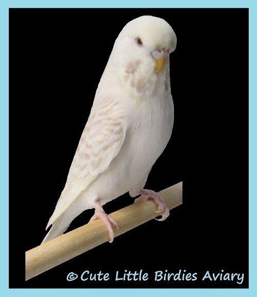 Lacewing White Based Budgies Lacewing Parakeet