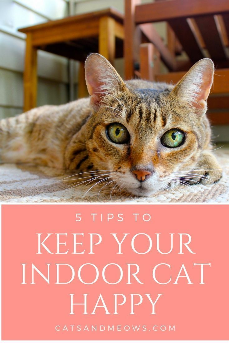 5 Tips To Keep Your Indoor Cat Happy Cats and Meows