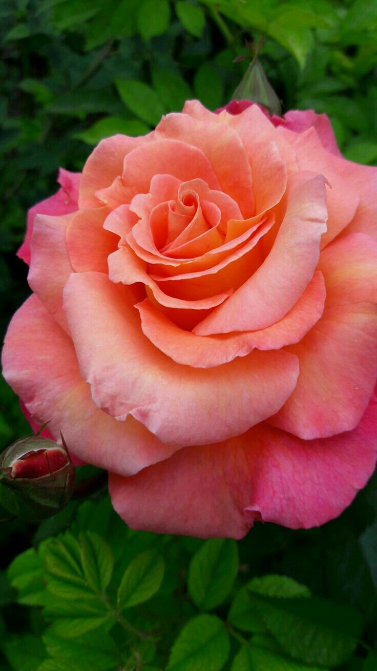 Pin By Hasreta Z On Beautiful Roses Beautiful Rose Flowers Beautiful Roses Amazing Flowers