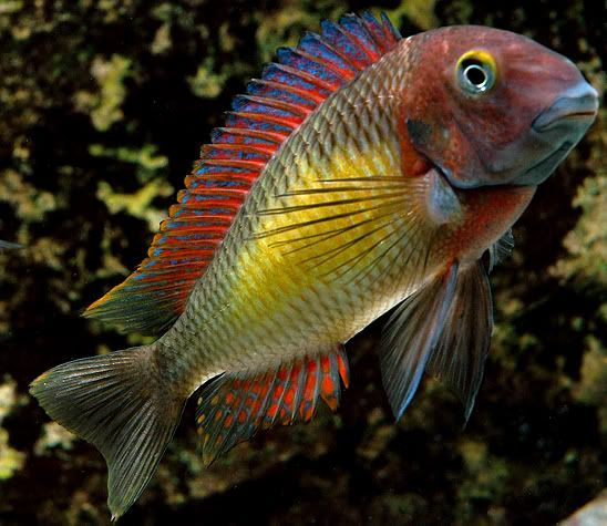 Interactive Lake Tanganyika Tropheus Collection Point Map Cichlids African Cichlids Underwater Creatures