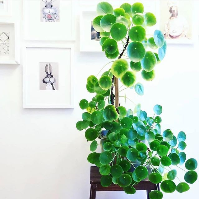 One Of The Tallest Pilea I Ve Ever Seen From Plantroost