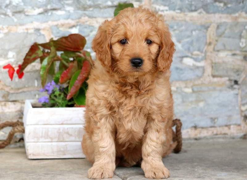 Aubrey Puppies For Sale Fox Dog Goldendoodle
