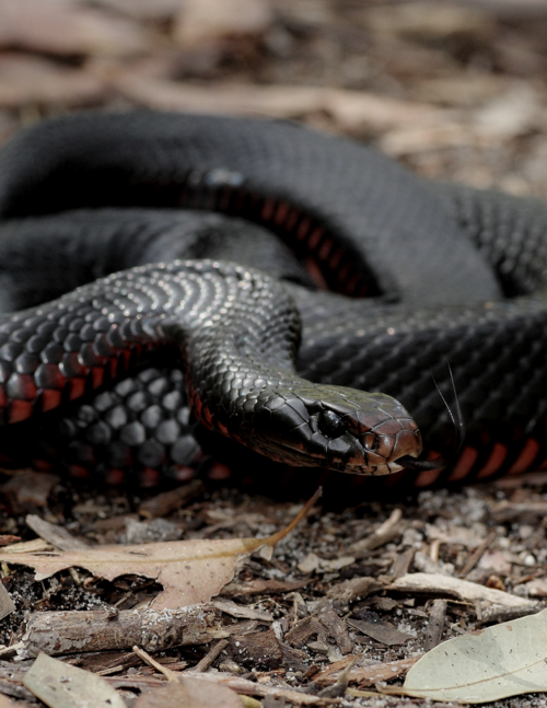 A Red Belly Black Snake Cute Snake Snake Reptiles And Amphibians