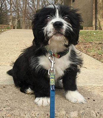 Pictures of Kodi a Terrier (Unknown Type, Medium) for