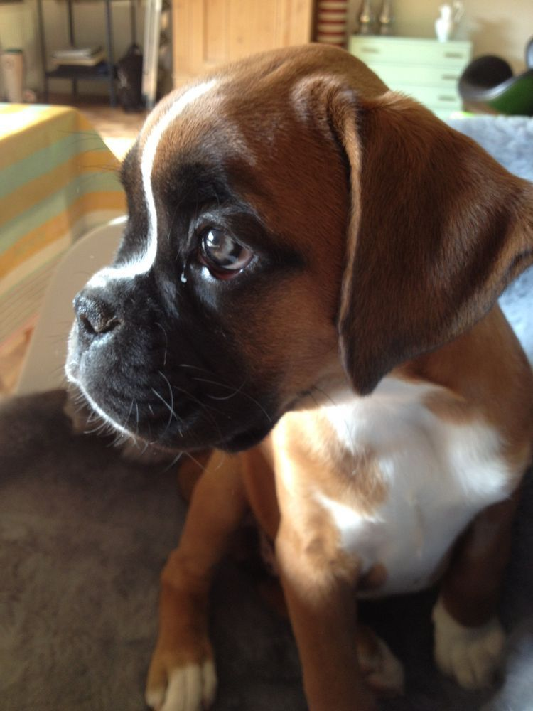 Pin By Kira Rosemann On Boxer Dog Boxer Dogs Boxer Puppies Boxer Dogs Facts