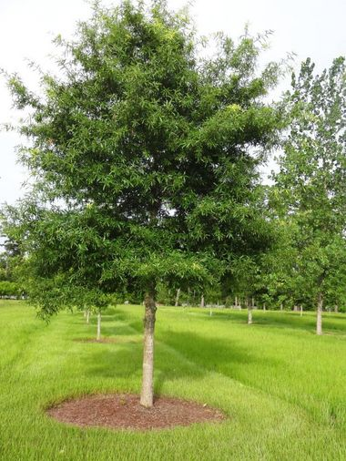 Looking For An Outstanding Shade Tree Try The Willow Oak Fast Growing Shade Trees Oak Trees Landscaping Willow Oak