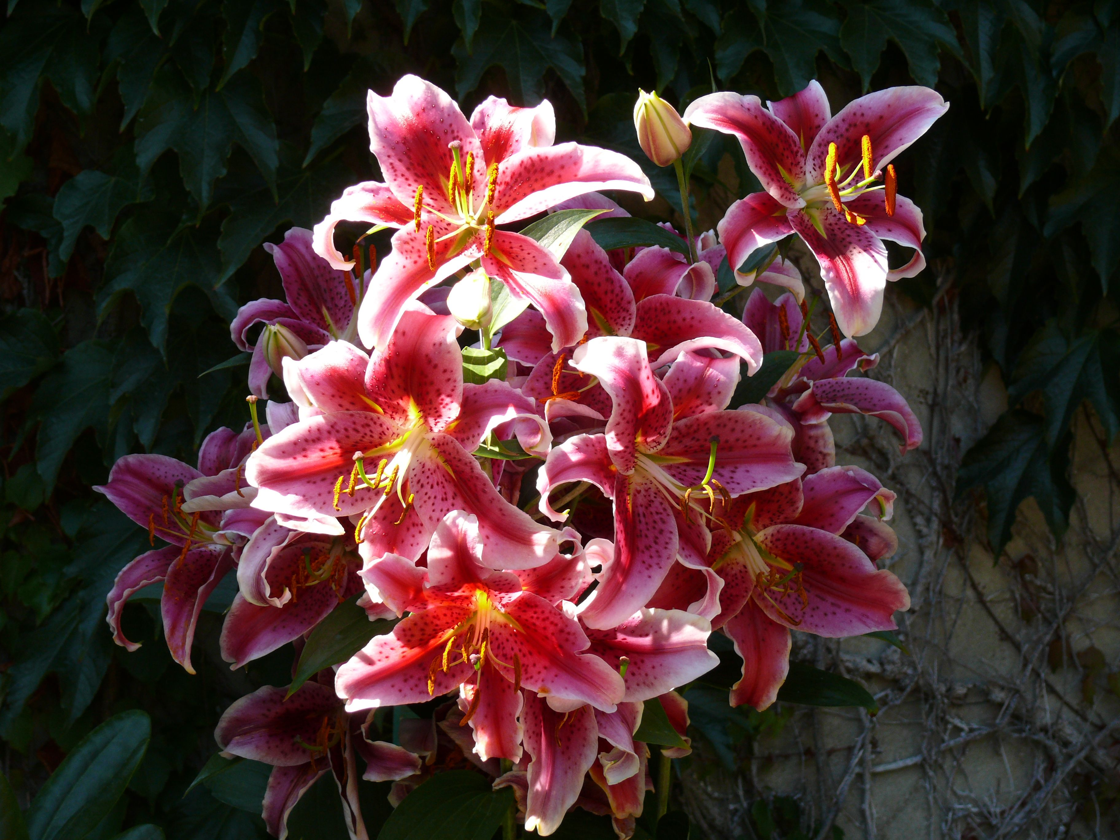 Stargazer lily unbeatable fragrance and stunning floral display