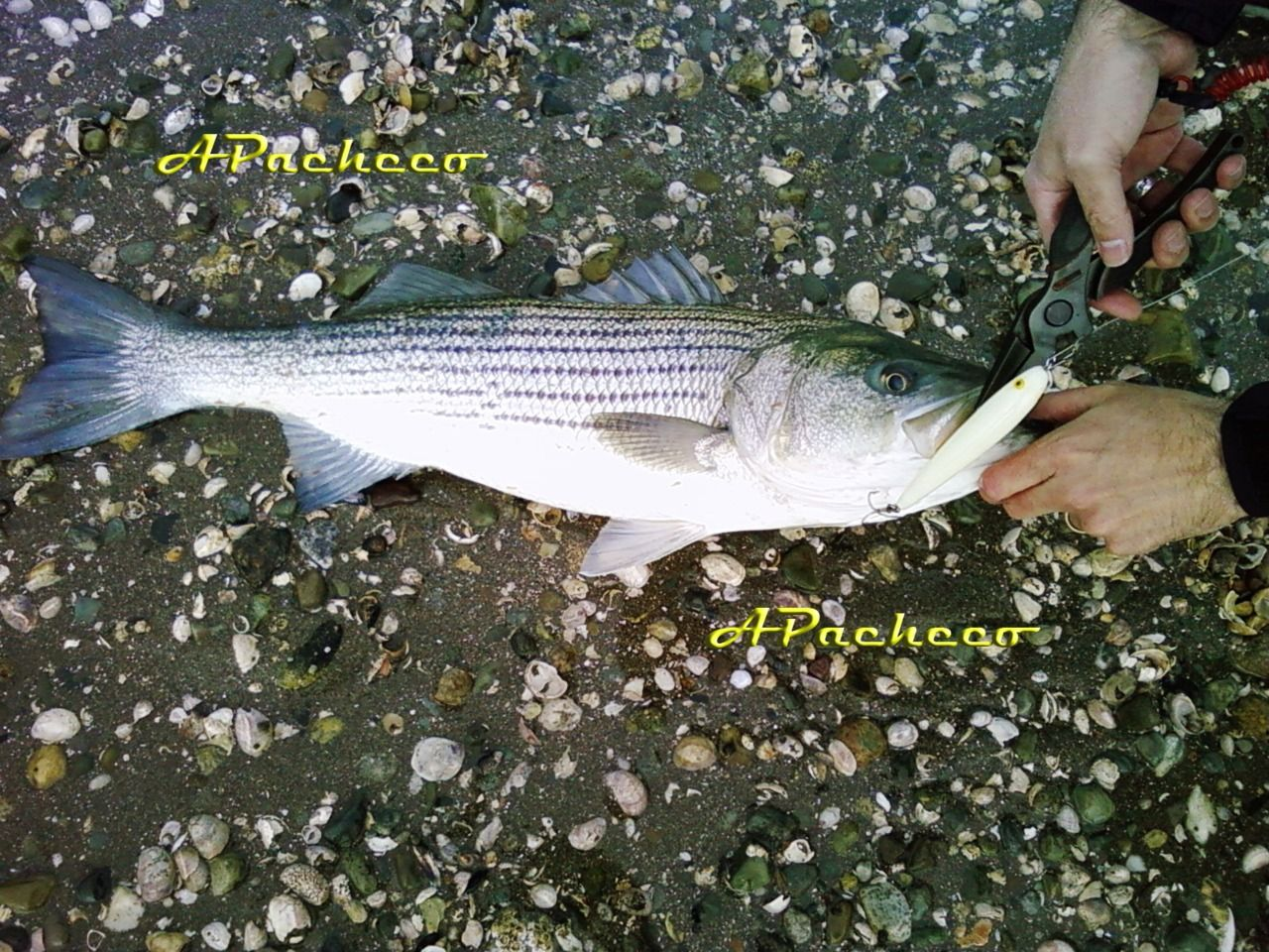 A nice striped bass caught on a jumpin minnow fishing for Fishing with minnows for bass