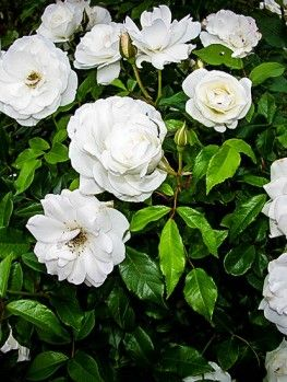 Knockout Roses Online The Tree Center