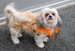 Adopt Bonnie On Shih Tzu Dog Dogs Shih Tzu