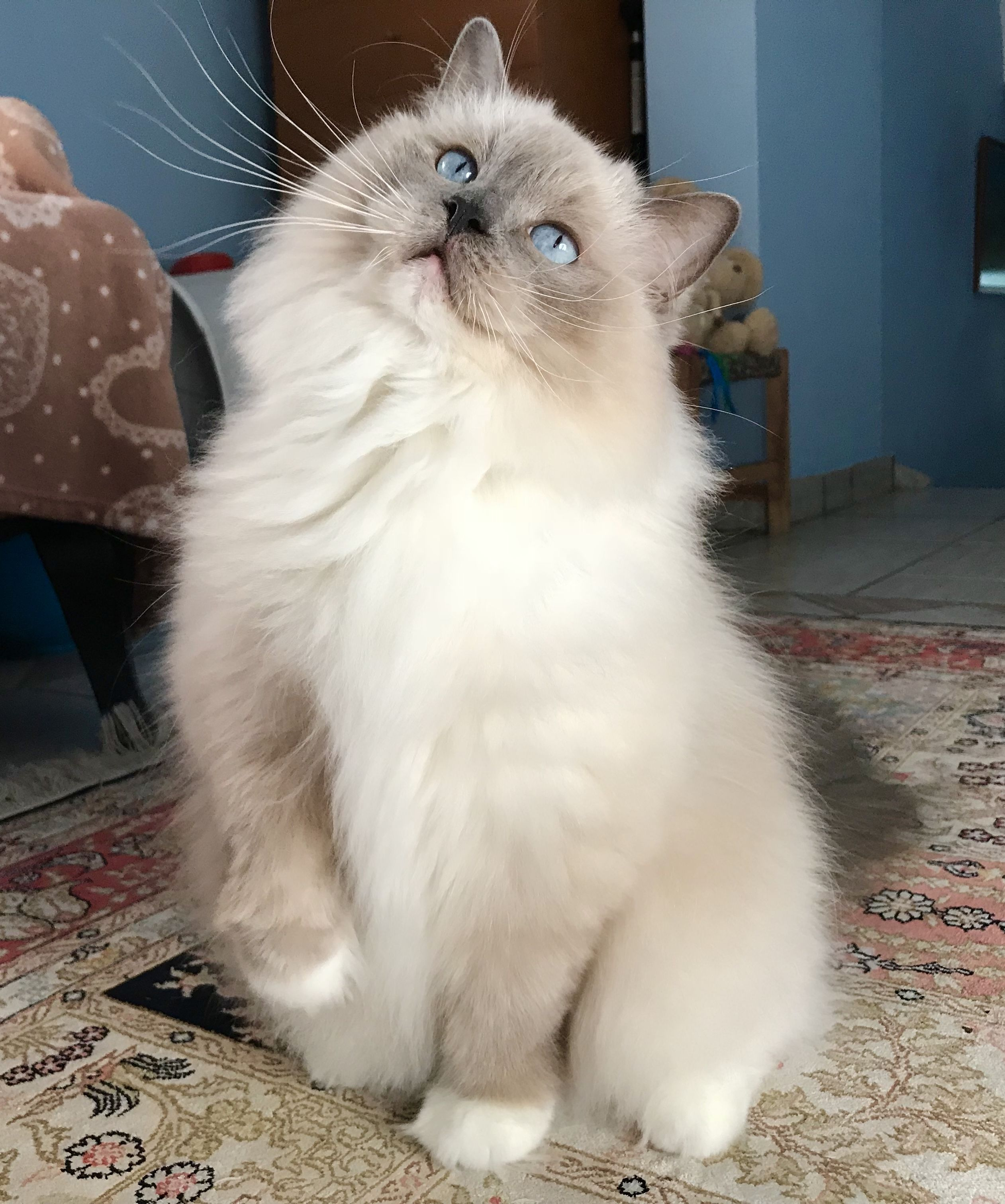 Lito Blue Mitted Ragdoll Girl Gorgeous Cats Pretty Cats Beautiful Cats