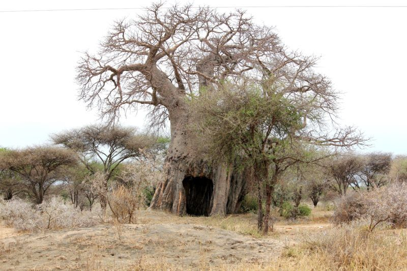 Baobab tree with a hole created by an elephant. In the dry season in Tarangire National Park elephants strip the bark to access the water stored inside the ...  sc 1 st  Pinterest & Baobab tree with a hole created by an elephant. In the dry season in ...