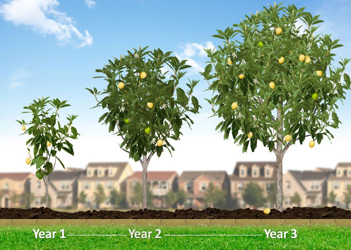 die besten 25 fast growing fruit trees ideen auf pinterest indoor zitronenbaum obstb ume. Black Bedroom Furniture Sets. Home Design Ideas