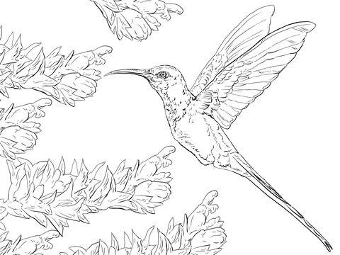Colibrí Golondrina Dibujo para colorear | pájaros y aves | Colibri ...