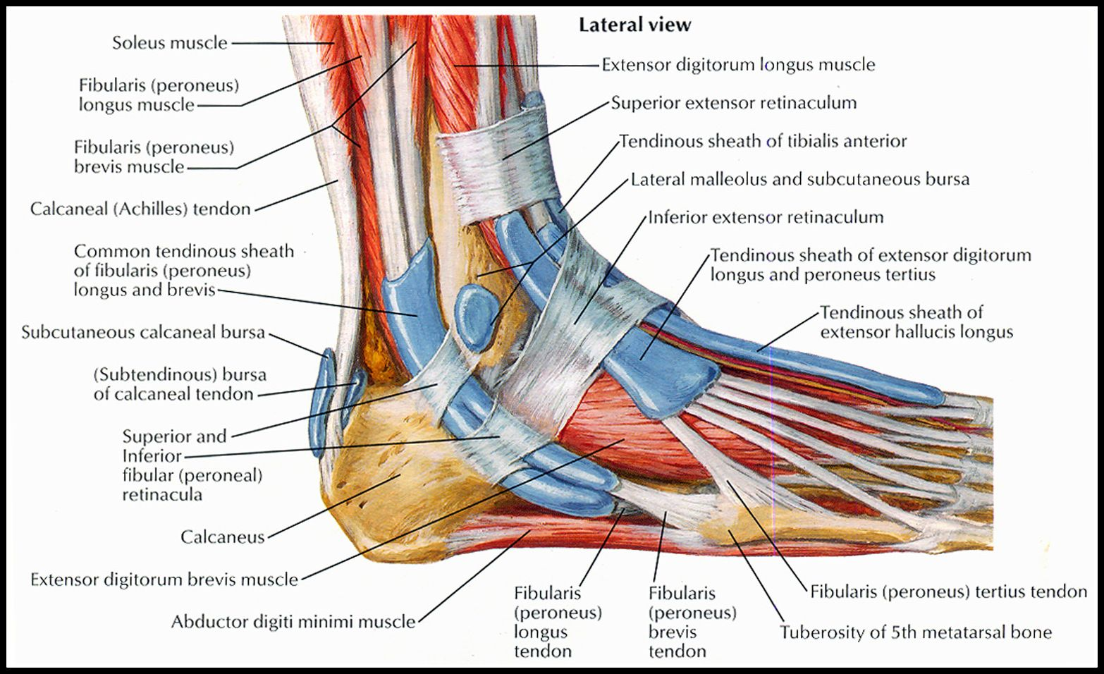 tendon sheath of ankleperoneal netter1 peroneus longus muscle diagram ankle [ 1566 x 956 Pixel ]