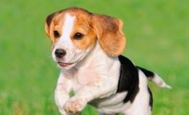 Found Dog Beagle In Miami Beach Fl Pet Name Lennon Shelter