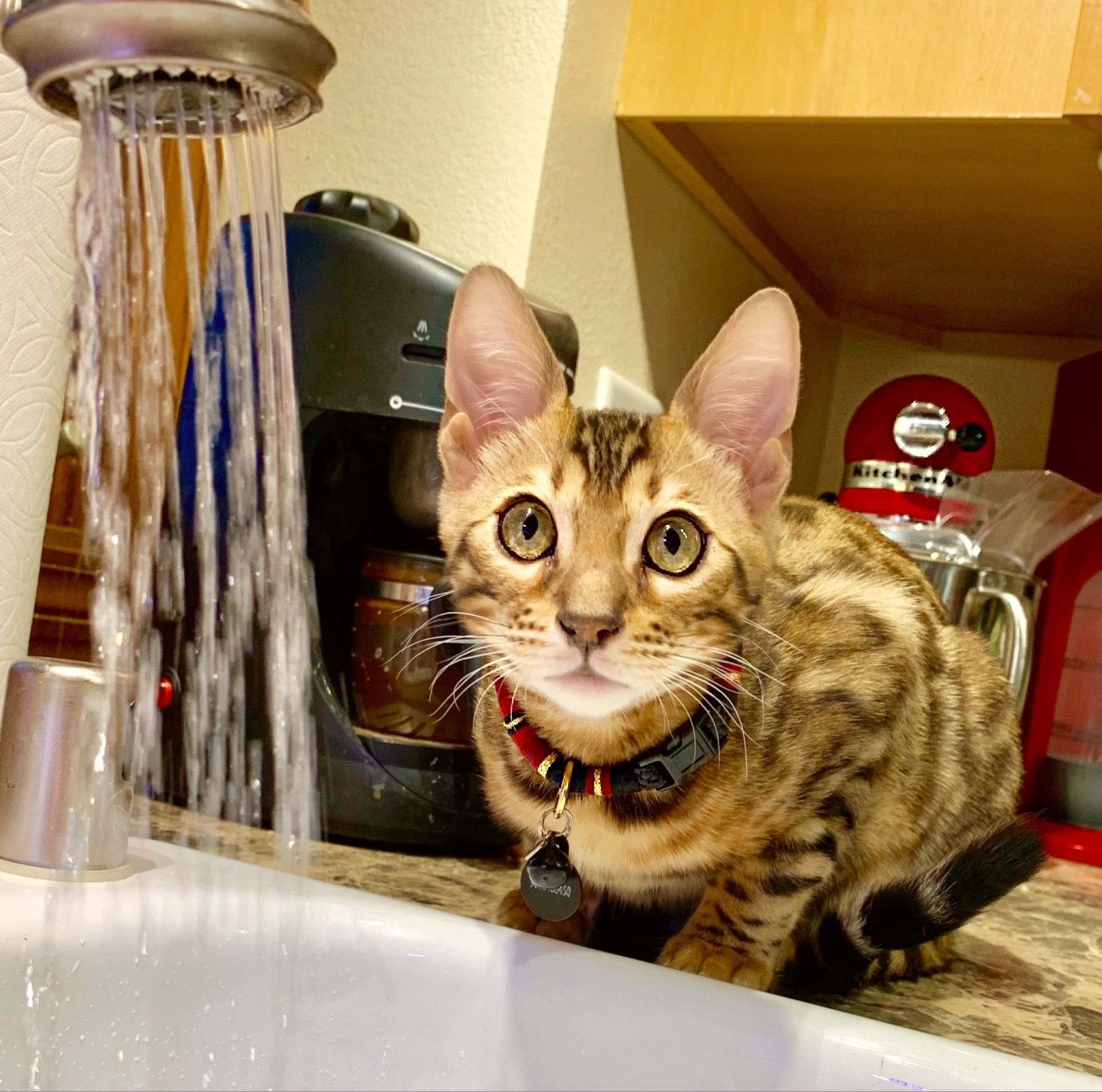 Bengal Kitten Cheddar 6 Months Fascinated By Water Bengal Cat Bengal Kitten Unique Cats