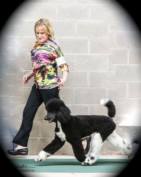 Illinois Poodles For Sale Parti Standard Poodle Poodle