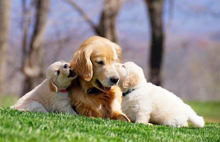Little golden family  @riverrunningwild #goldenretriever #adorable #family #pupsofinstagram #dogsofinstagram #dog #puppies #puppy #dogs  Use code glorious15 for $15 off your @pupbox #PupBox  by gloriousgoldens