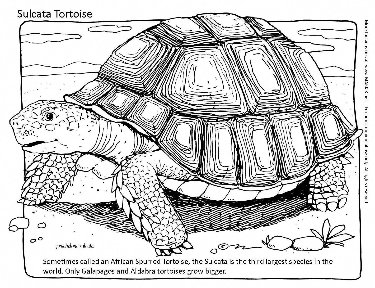 Tortoise Coloring Page Sometimes Called An African Spurred Tortoise The Sulcata Is The Third Largest Species In Tortoises Desert Tortoise Galapagos Tortoise
