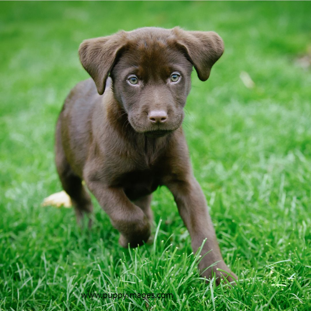 Chocolate Labrador Puppy Running Labrador Puppy Chocolate