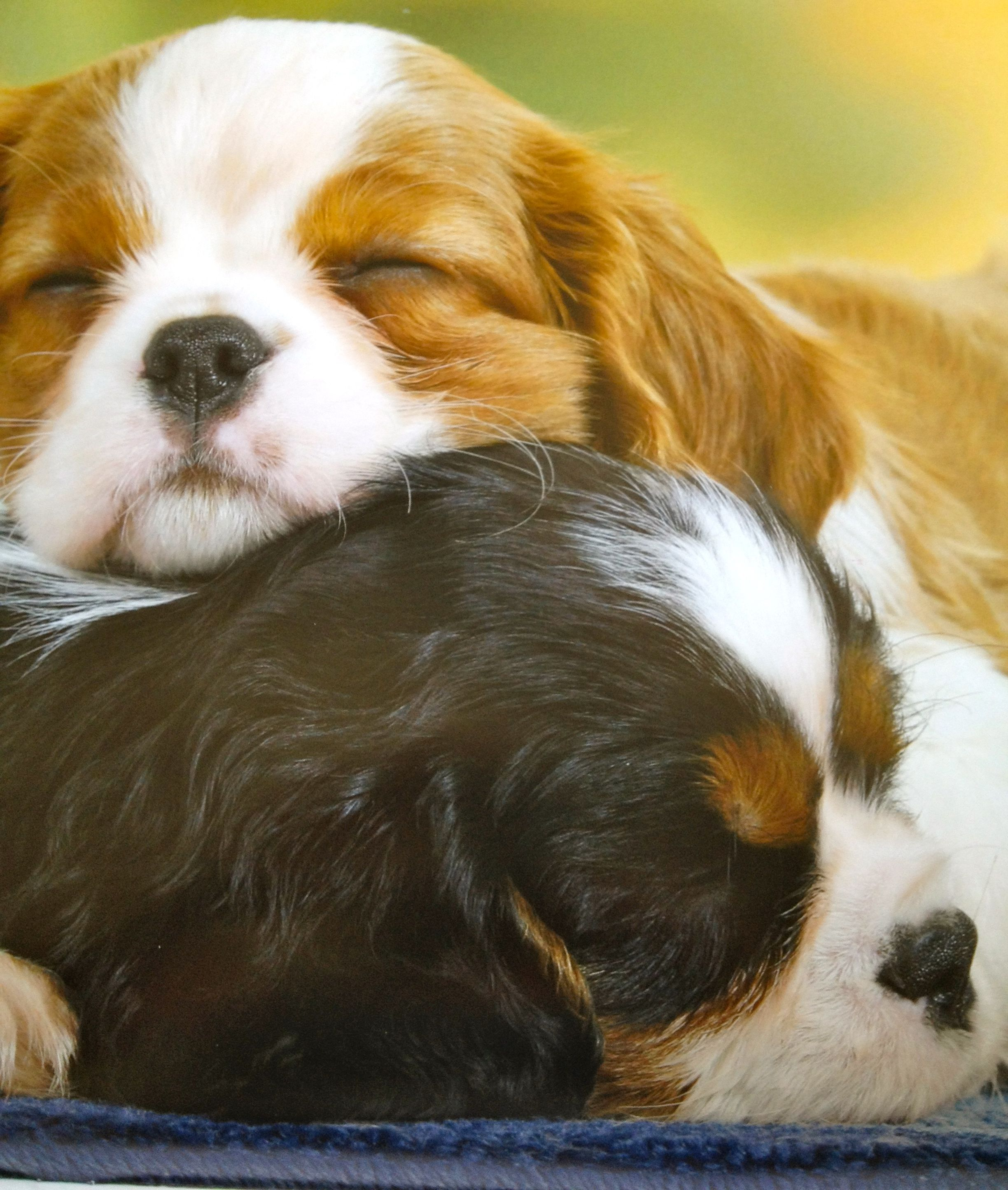 Fantastic Charles Spaniel Brown Adorable Dog - d8774330eced9b0a1774943815f4198e  Pictures_285662  .jpg