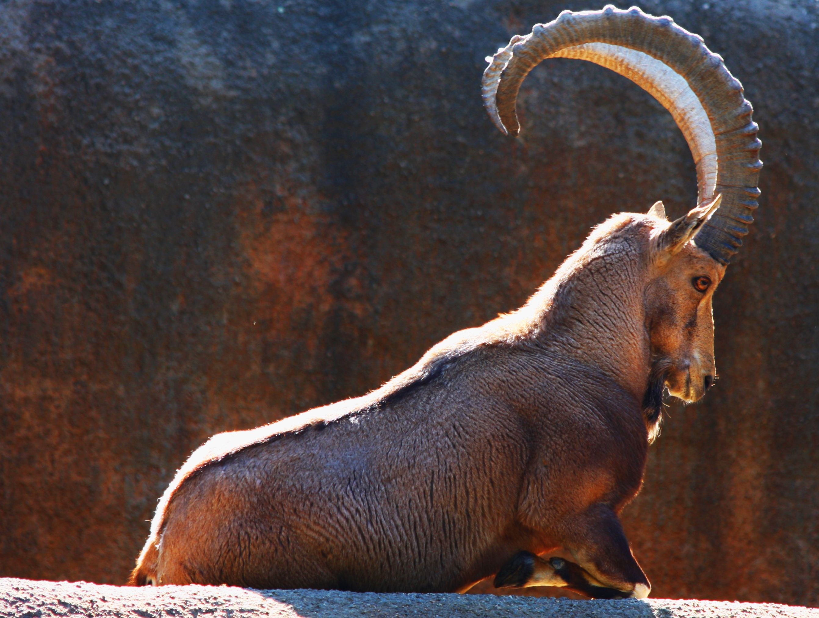 The Nubian ibex, Jordan a large mountain goat which
