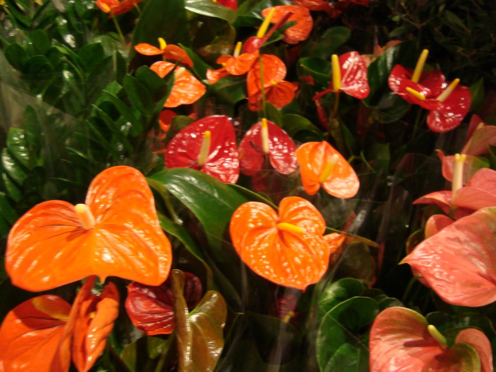 I Just Want An Orange Anthurium I Really Want A Yellow One But You Get What You Get Anthurium Flower Variegated Plants Trees To Plant