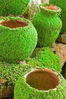 Moss Growing On Pottery Brush Terra Cotta Pots With Buttermilk