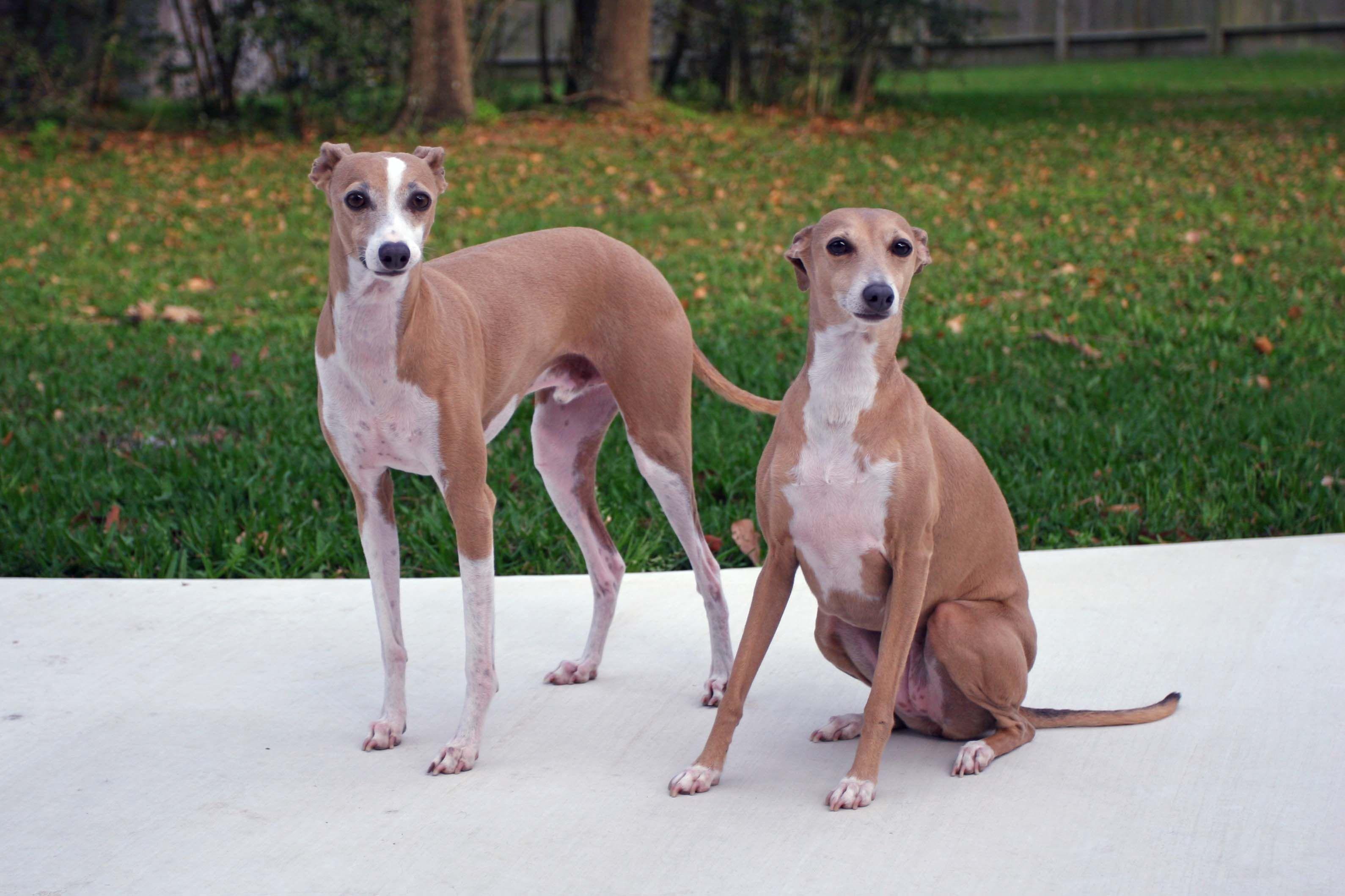 Italian Greyhounds Grey Hound Dog Italian Greyhound Dog Greyhound Puppy