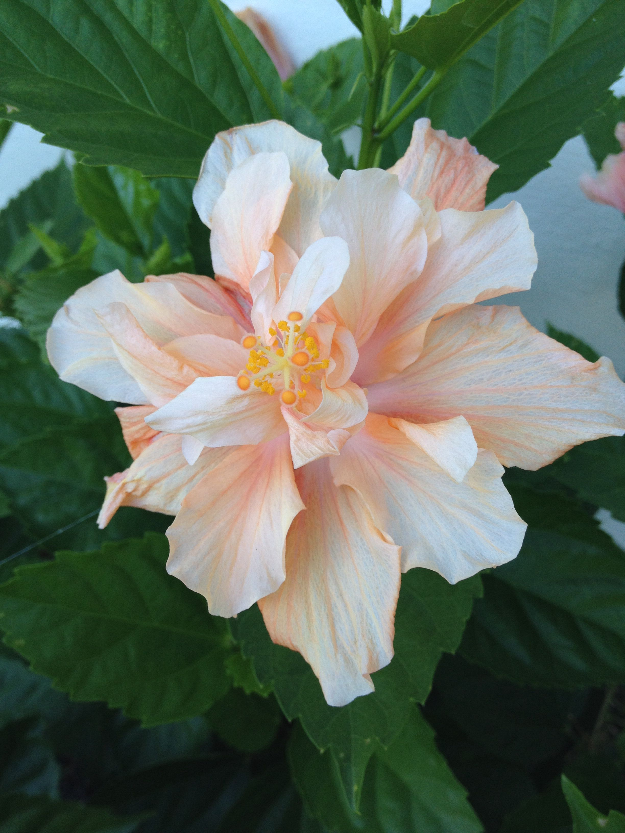 Double bloom hibiscus from my tree flowers my bliss double bloom hibiscus from my tree izmirmasajfo