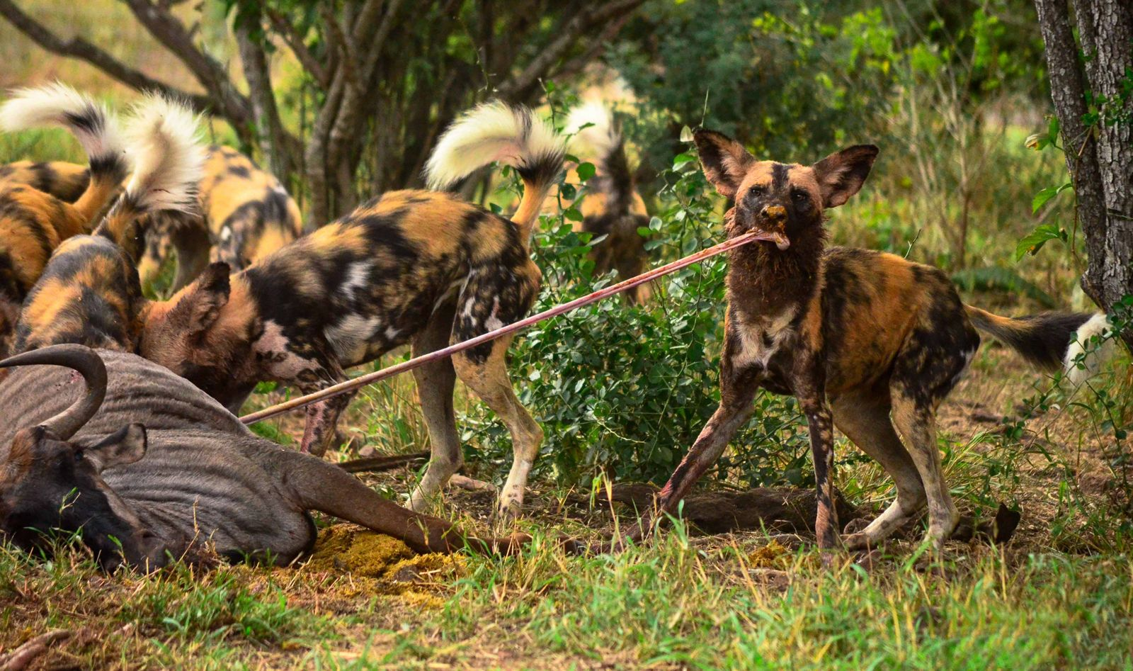 Wild dog spaghetti ©Kyle Lewin