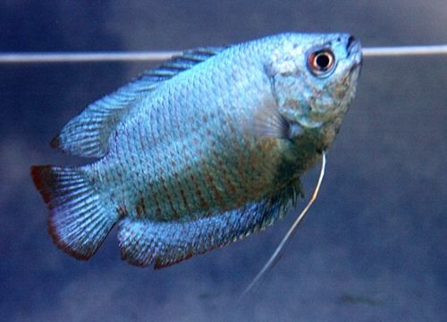 Neon Blue Dwarf Gourami Animal Intelligence Fish Animals