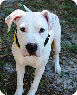 Pin By Lisa A On Adoptable Dogs American Bulldog Mix Pets