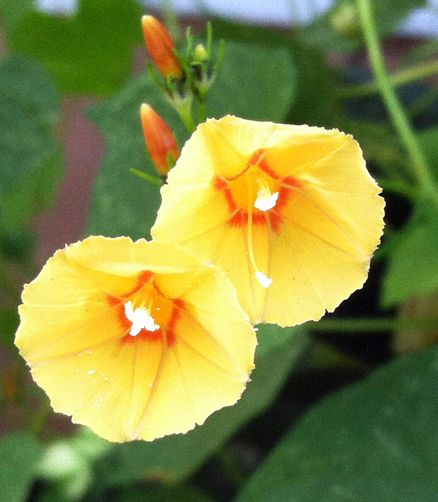 Yellow Morning Glory Ipomoea Hederifolia Var Pumpkin Morning Glory Flowers Beautiful Flowers Garden Morning Glory Seeds