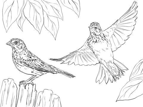Gorrión Zacatero Coliblanco Dibujo para colorear | pájaros y aves ...