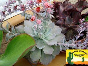 Plante grasse feuilles longues et gris clair