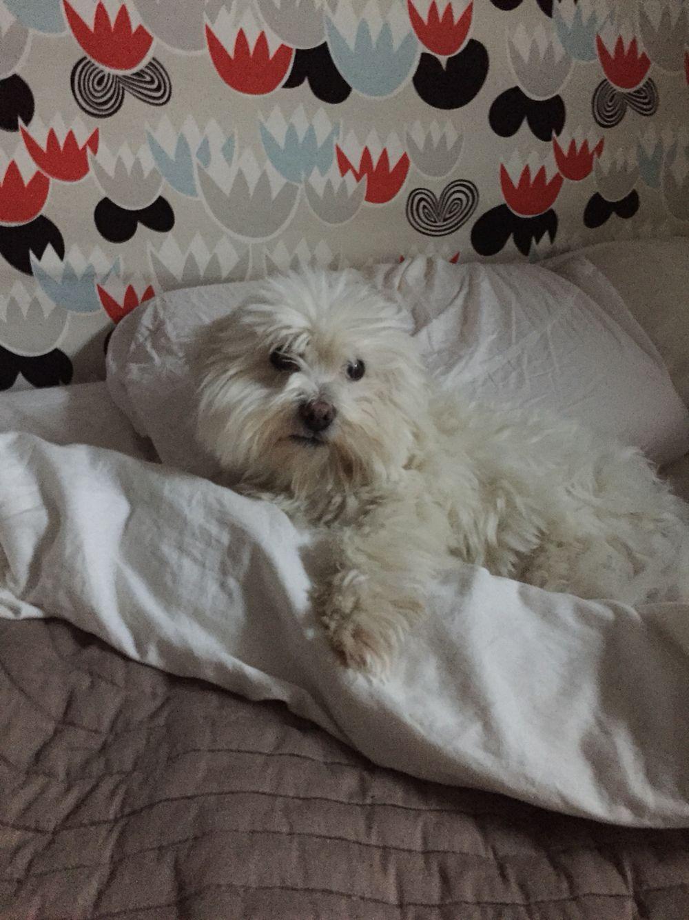 Dog hogging the bed - Lulu Hogging The Bed